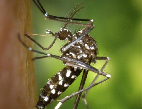 # Information sur le moustique tigre